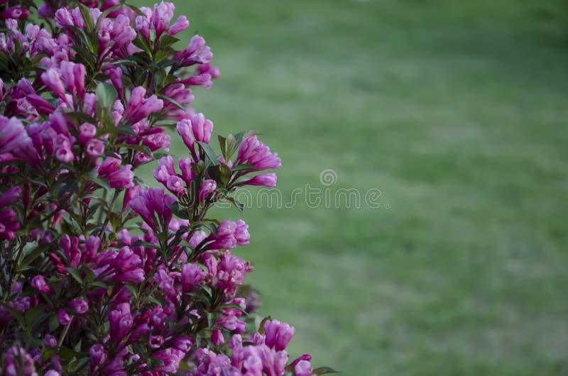 Bush von schönen purpurroten Blumen stockbild