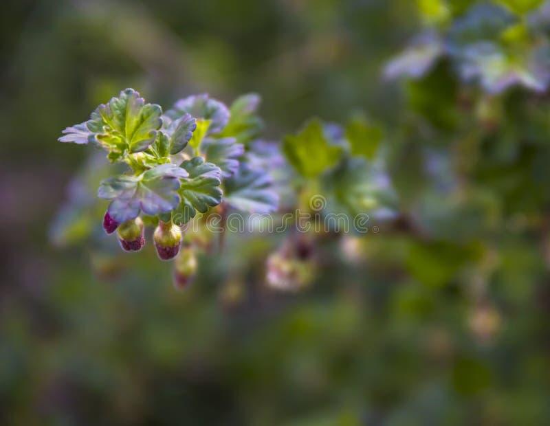 Bush von Stachelbeerniederlassungen lässt Blüte grünen rosa Unschärfehintergrund stockfotografie