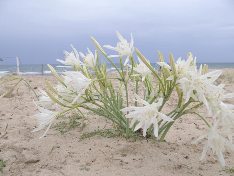 Bush of white flowers on the beach in Tunisia. Pancratium maritimum against the blue sky and sea. day. vertical royalty free stock photos