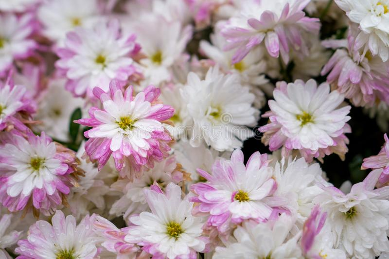 Bush of white pink flowers with yellow pistil.  royalty free stock photos