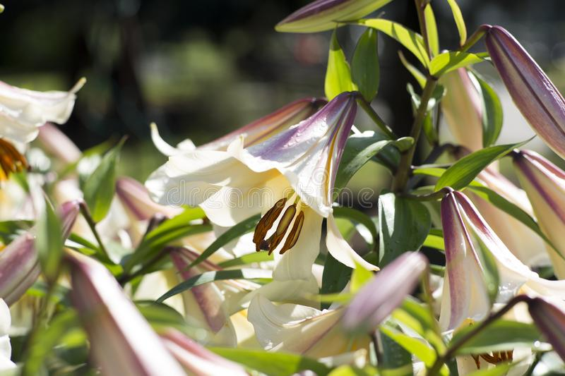 Bush of white and pink lilies stock images
