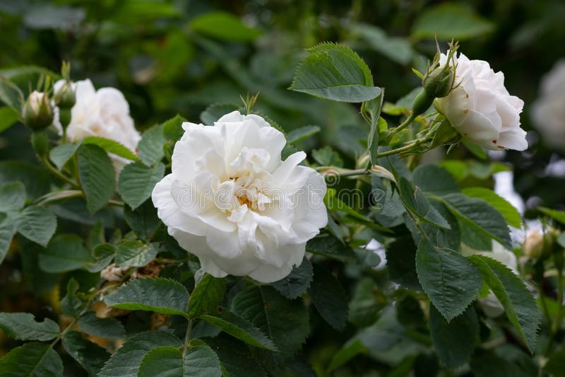 Bush of white rose with bloom flower and leaves royalty free stock photo