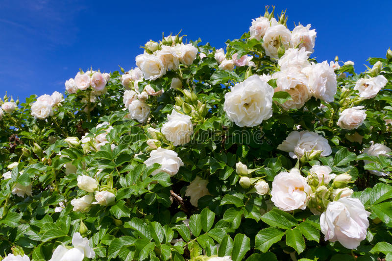 Download Bush of white roses stock image. Image of flower, bush - 20008497