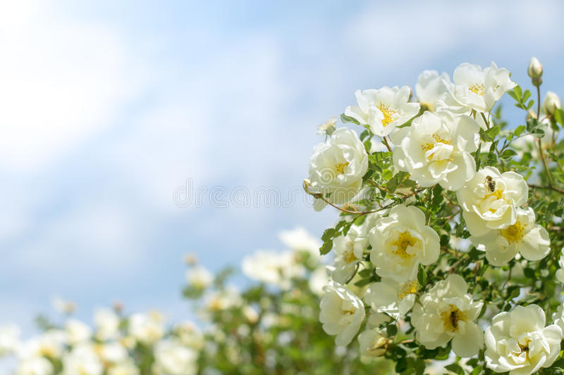 Bush of white roses on a background of blue sky. Floral background with space for text. Beautiful white roses. royalty free stock photography