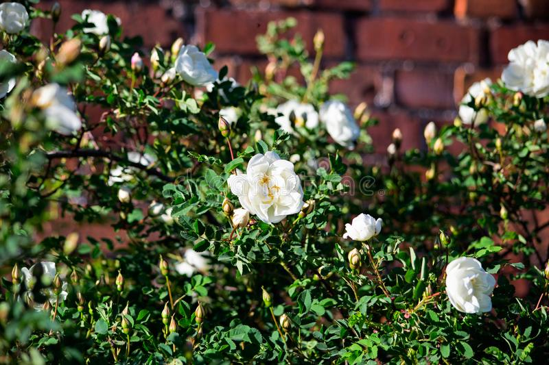 Bush with white roses near the brick wall royalty free stock photography