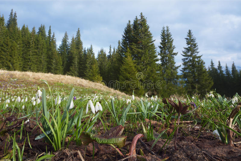 Bush white snowdrops on a mountain meadow royalty free stock photography