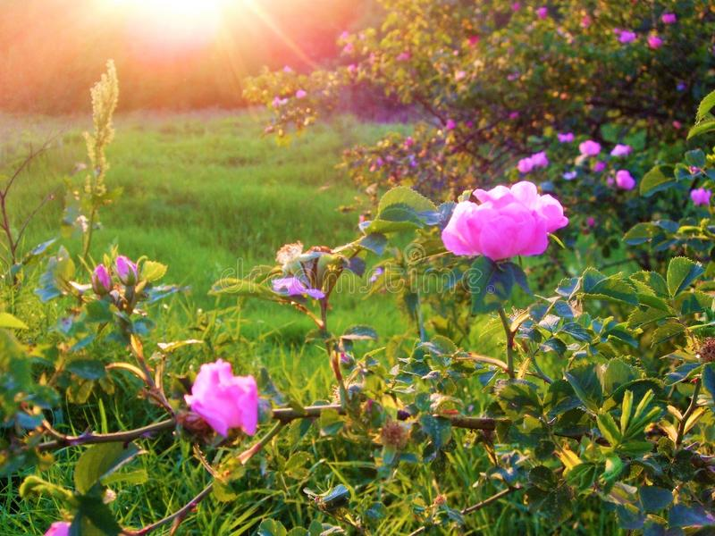 Branch of wild rose on the dawn. Bushes of wild rose in the rays of morning sun in the green field with emerald green grass royalty free stock image
