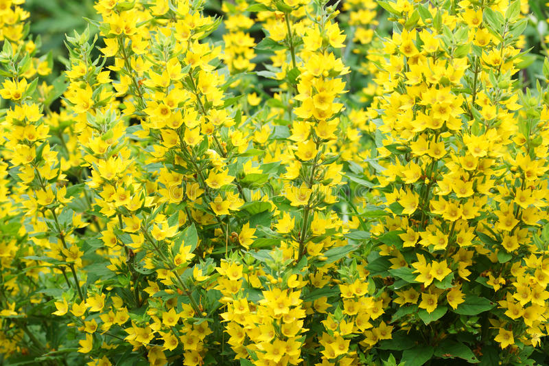 Bush with yellow flowers stock photo image of decoration 32025688 download bush with yellow flowers stock photo image of decoration 32025688 mightylinksfo Images