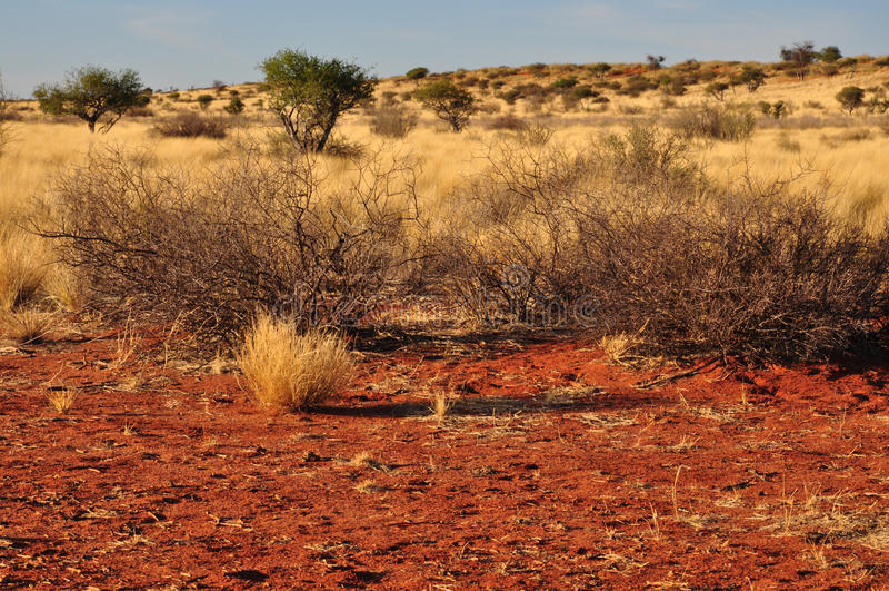 Bush And Yellow Grass, Kalahari Stock Image - Image of ...