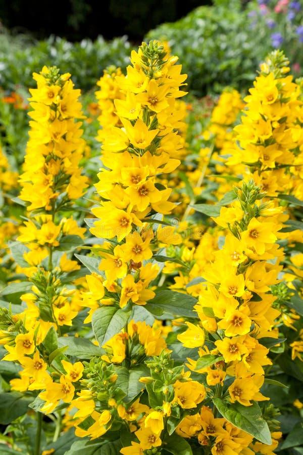 A bush of yellow Paparveraceae - Papaver Orientale flowers stock photos