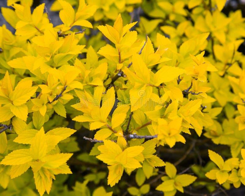 Download Bush z żółtymi liśćmi zdjęcie stock. Obraz złożonej z yellow - 53781124
