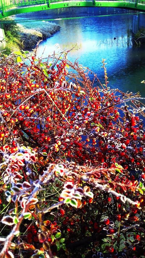 Bush z czerwonymi jagodami na jeziorze obraz royalty free