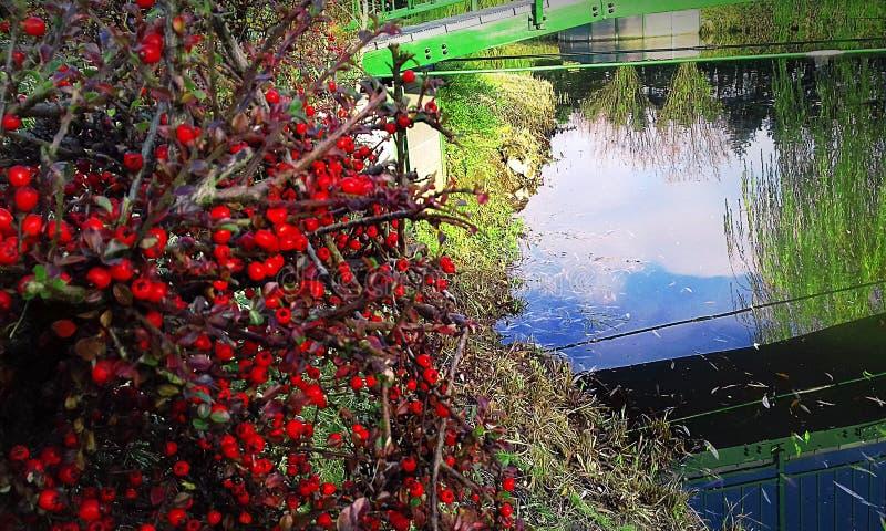 Bush z czerwonymi jagodami spadek póżno zdjęcia royalty free