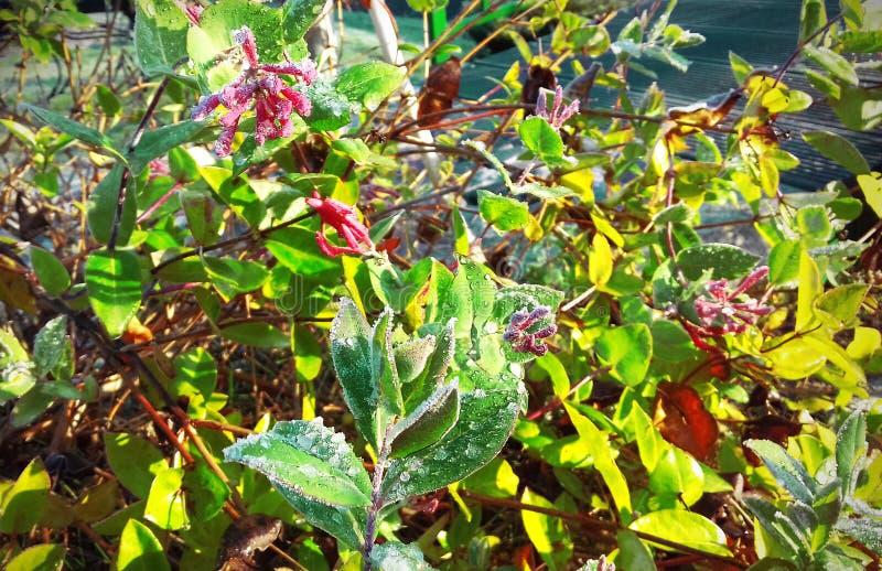 Bush z zieleń liśćmi w lodzie obrazy royalty free