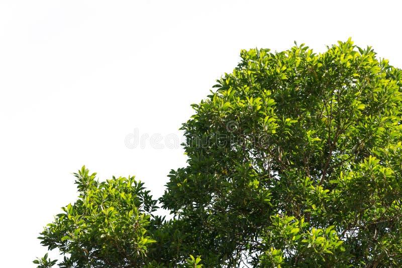 Bush zieleń opuszcza i rozgałęzia się treetop odizolowywający na białym tle zdjęcia royalty free