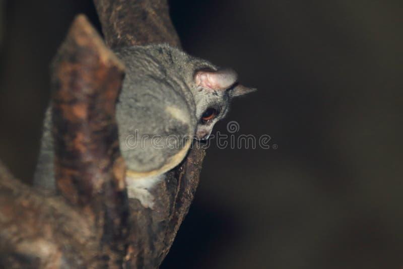 Bushbaby de Senegal imagem de stock