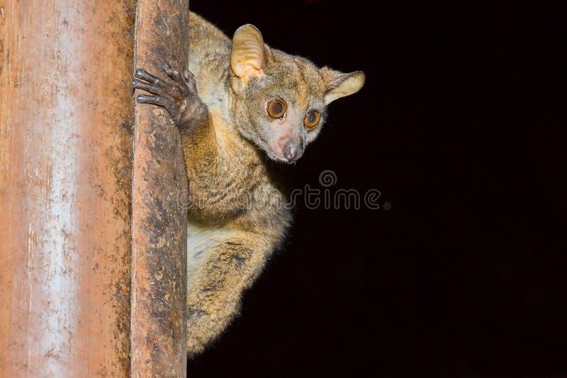 Bushbaby, Galago de Senegal, parque nacional de Meru, Kenia imagen de archivo libre de regalías