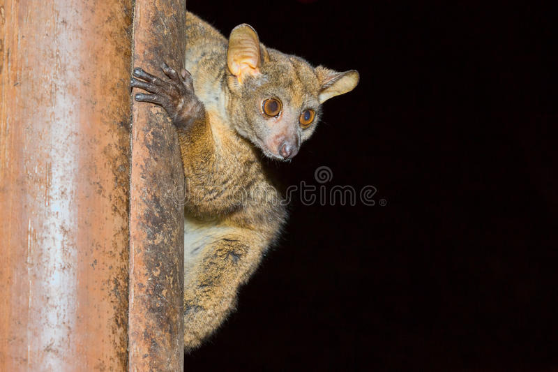 Bushbaby, Galago de Senegal, parque nacional de Meru, Kenya imagem de stock royalty free