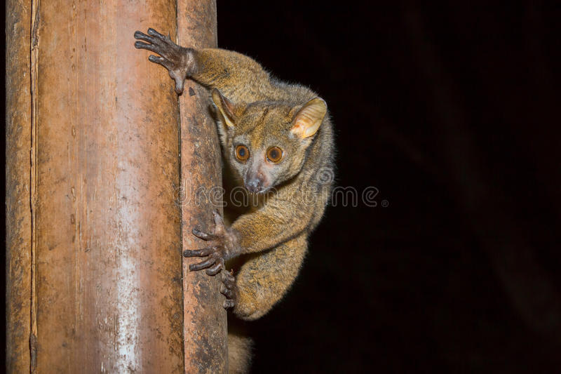 Bushbaby, Galago del Senegal, parco nazionale di Meru, Kenya immagini stock