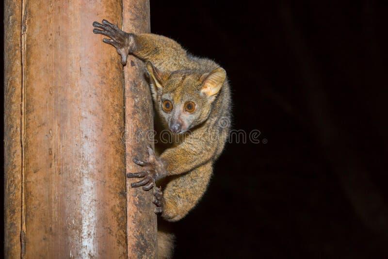 Bushbaby, Senegal Galago, Meru park narodowy, Kenja obrazy stock
