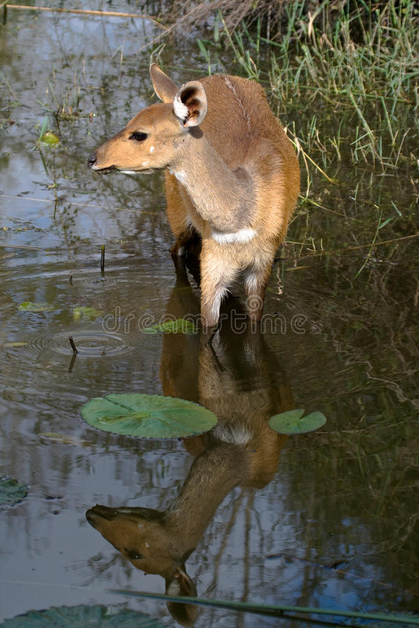 Bushbok in water royalty free stock photos