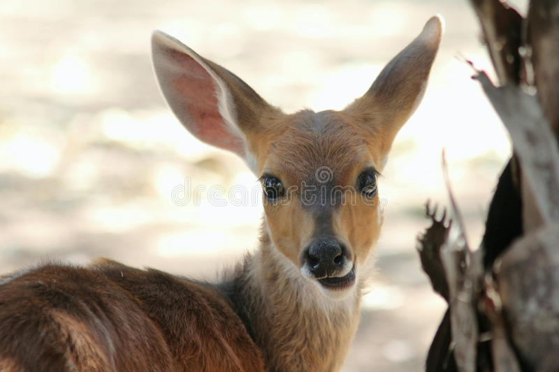 Bushbuck photographie stock