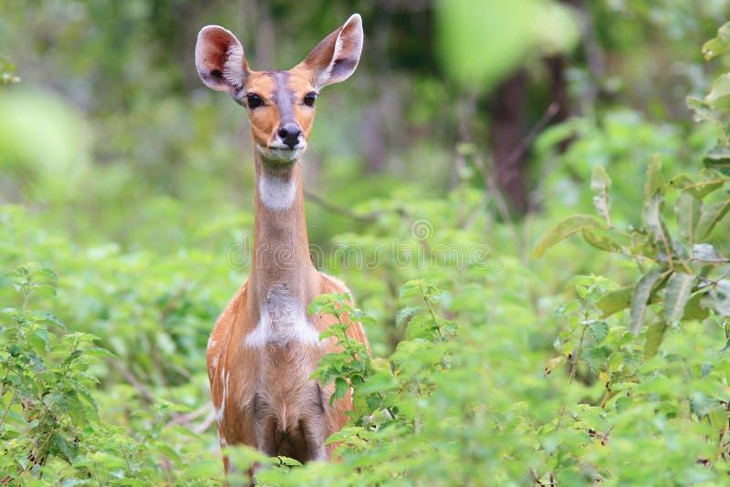Bushbuck alerta no parque nacional da toupeira, Ghana fotografia de stock royalty free