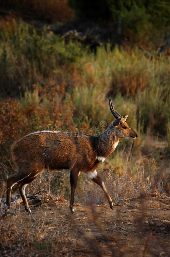 Bushbuck in countryside stock photos