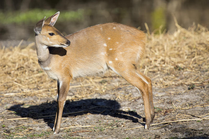 Bushbuck doe walking along the edge of pond eating grass. Bushbuck doe walking along the edge of a pond eating grass stock images