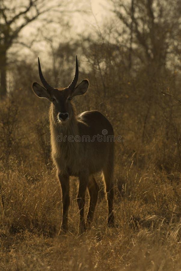 Bushbuck maschio immagini stock libere da diritti