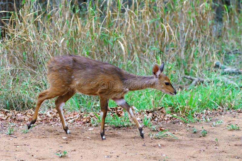 Bushbuck ( Scriptus Tragelaphus στοκ εικόνα