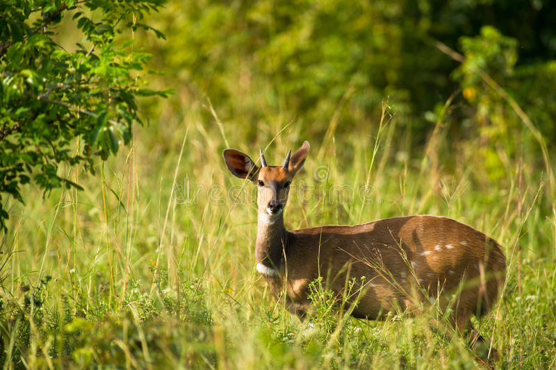Download A Bushbuck in Shimba Hills stock image. Image of brown - 16506561