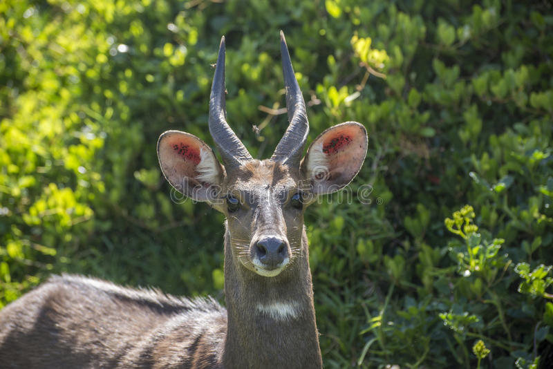 Bushbuck at Tsitsikamma. Portrait of a bushbuck in the rainforrest at Storms River Mouth in Tsitsikamma royalty free stock images