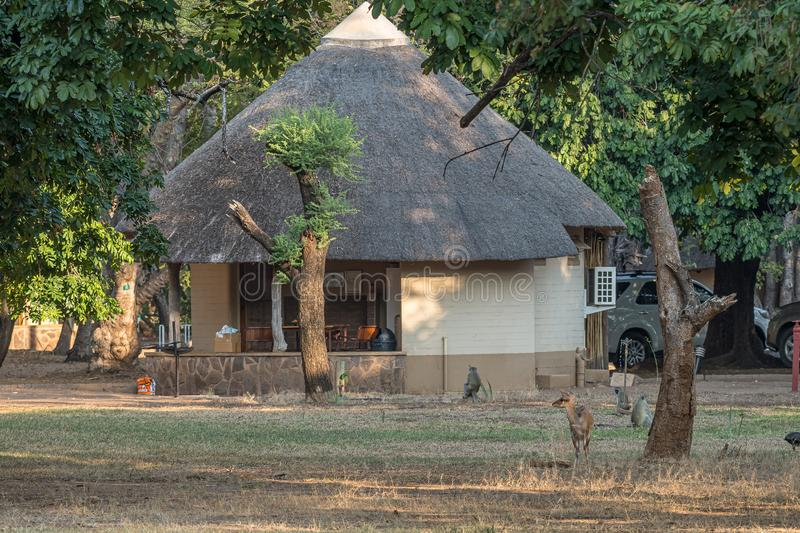 Bushbuck and vervet monkeys between chalets in Letaba. KRUGER NATIONAL PARK, SOUTH AFRICA - MAY 7, 2019: A bushbuck and vervet monkeys between chalets in the royalty free stock photography