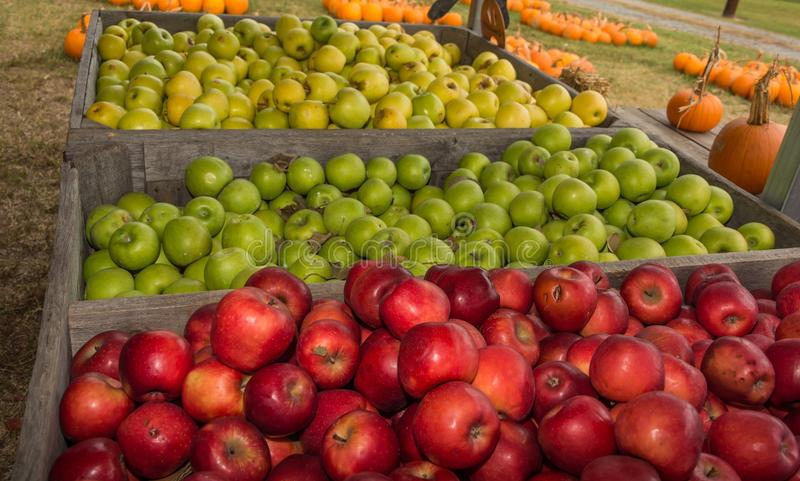 Bushel of Apples. A peck, bushel, no matter there fruit for life and good times royalty free stock photos