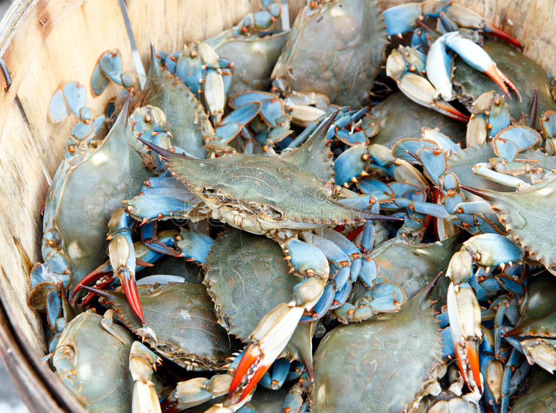 Bushel of blue claw crabs. Color DSLR image of a bushel of fresh, live blue claw crabs (callinectes sapidus) in horizontal orientation royalty free stock photos