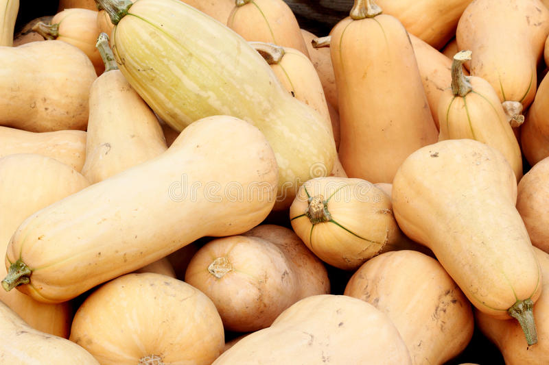 Bushel of butternut squash royalty free stock images