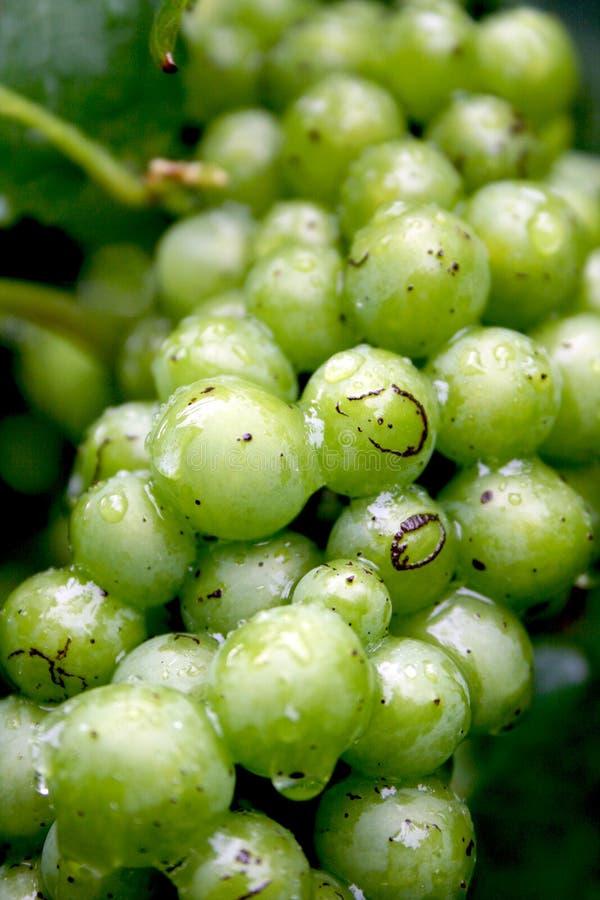 Bushel of grapes after rain royalty free stock image