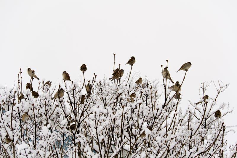 bushes воробьи стоковые изображения rf