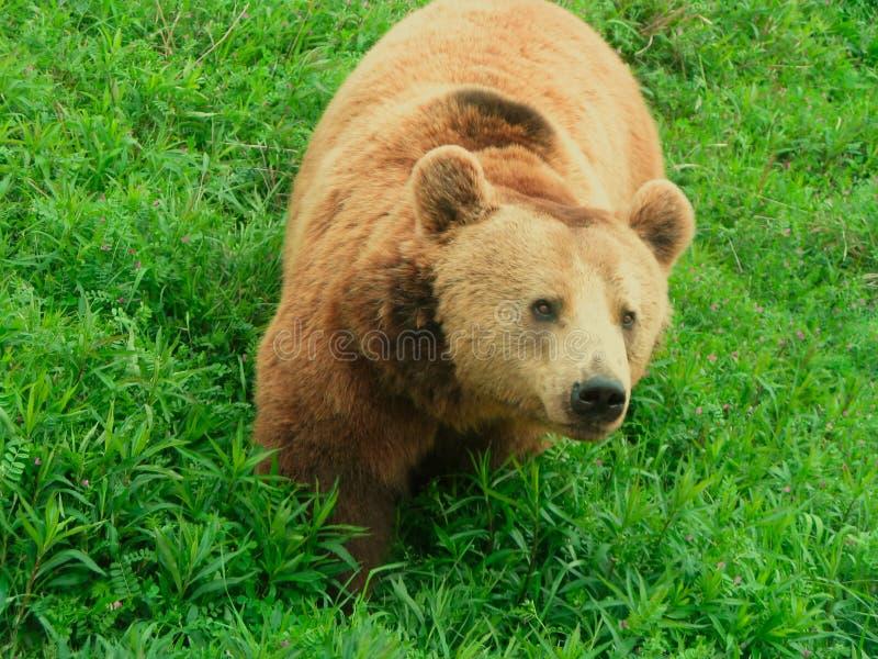 bushes медведя стоковые изображения