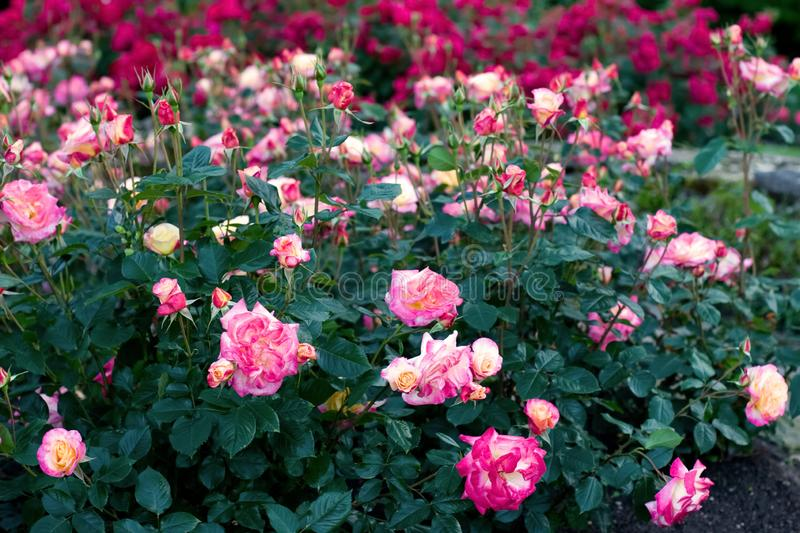 Bushes with beautiful blooming roses. Red and pink flowers. Selective focus. The background is blurry royalty free stock photos