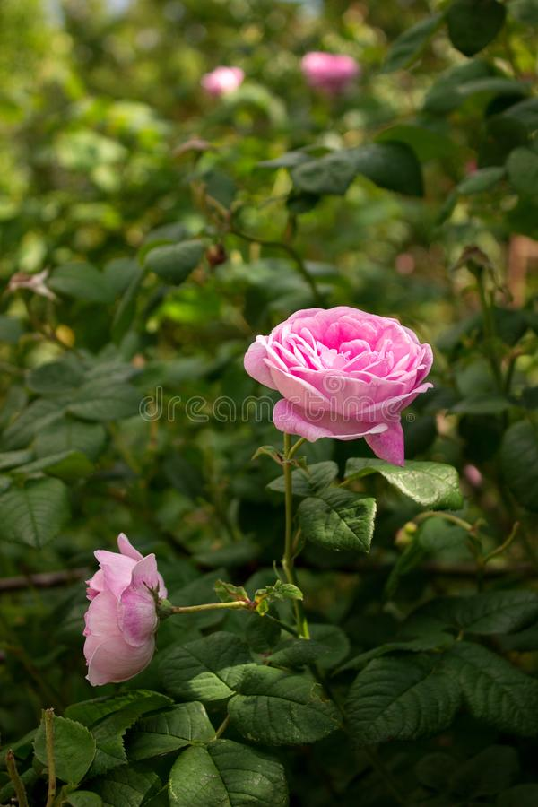 Bushes of blossoming pink tea rosa odorata in a sunny garden. royalty free stock photography