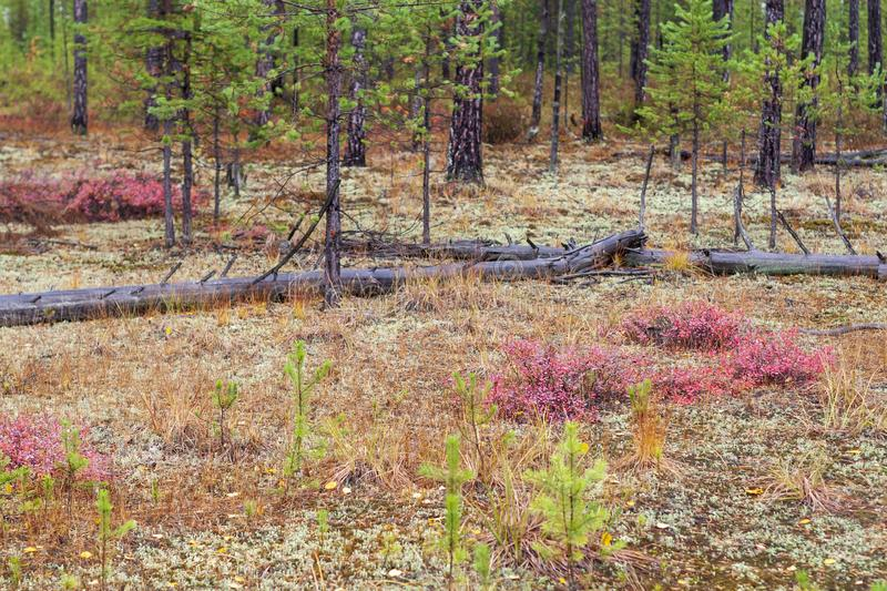 Bushes of bog whortleberry against the background of the autumn royalty free stock image