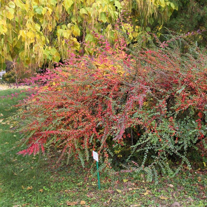 Bushes at the botanical garden. Colorful Cotoneaster horizontalis royalty free stock image