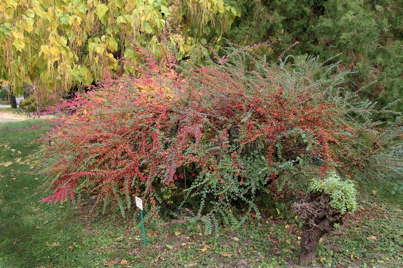 Bushes at the botanical garden. Colorful Cotoneaster horizontalis royalty free stock photography