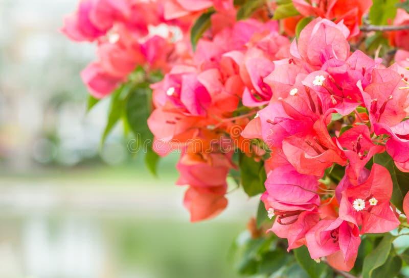 Bushes of bougainvillea. royalty free stock photos
