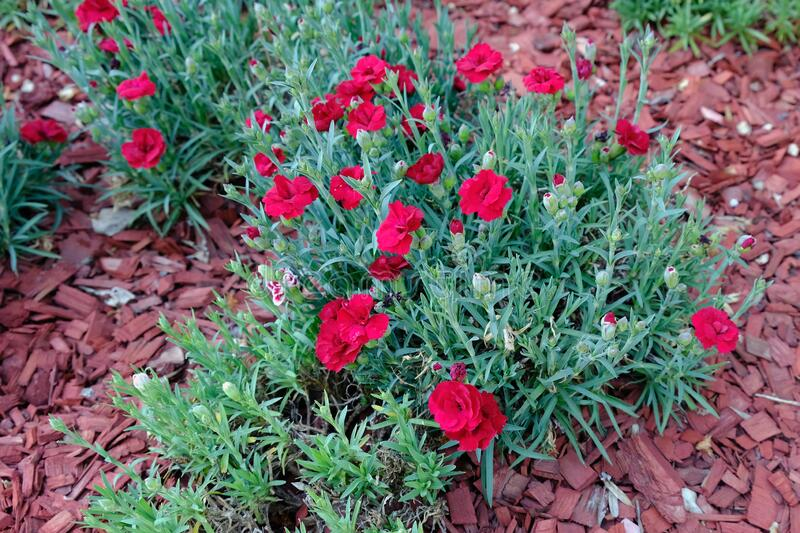 Bushes Bright red wild Dianthus barbatus or gillyflowers or carnations,. Grow in a flowerbed in the garden royalty free stock image