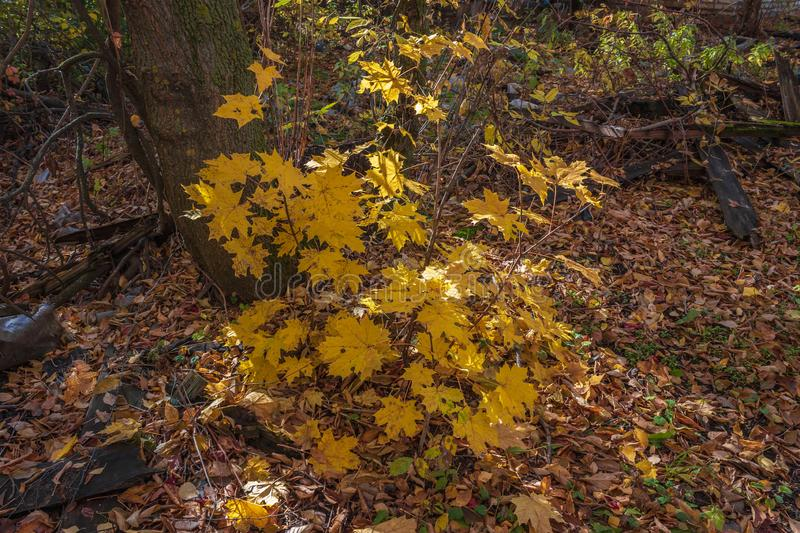 Bushes in golden autumn royalty free stock photography