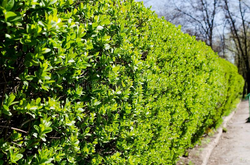 Bushes. Green bushes. Exactly trimmed bushes with small green leaves. Spring bushes. Smooth bushes. diahalal greens stock images