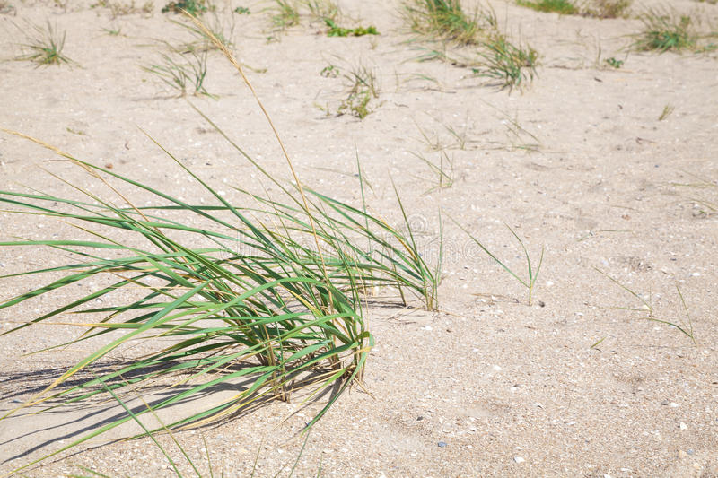 Bushes of green grass on a sandy beach. On a bright summer sun royalty free stock photos